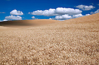 Wheat field ready for harvest with clouds. The Palouse, Washington