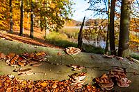 Toter Baum mit Pilzen, Grumsiner Forst, Weltnaturerbe der UNESCO, Angermünde, Uckermark, Brandenburg, Deutschland