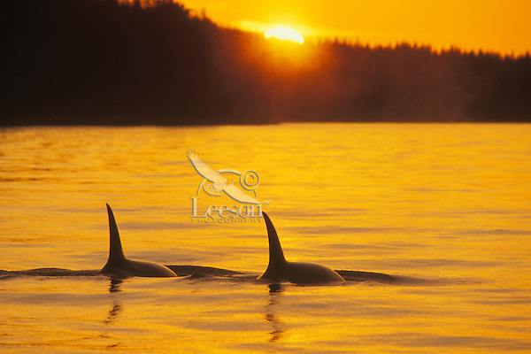 Orca or Killer Whale at sunset..Pacific NW