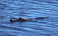 A juvenile alligator cruises in the water by the Stick Marsh near Felsmere, Florid