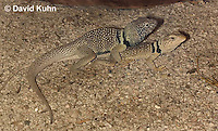 0612-1001  Mating Great Basin Collared Lizards (Mojave Black-collared Lizard), Mojave Desert, Crotaphytus bicinctores  © David Kuhn/Dwight Kuhn Photography