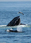 This mother humpback whale is feeding voraciously on Sand Lance to feed her calf who swims by her side.