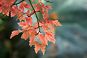 Autumn foliage of paper-bark maple (Acer griseum), early November.