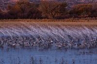 Motion blur of Snow Geese taking flight behind Sandhill Cranes