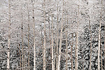 aspen stand, winter landscape in May, Rocky Mountain National Park, May, Colorado, USA