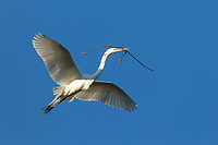 Great White Egret , Ardea alba, flies in with nesting material in its mouth at an urban rookery, Santa Rosa, Sonoma County, California.
