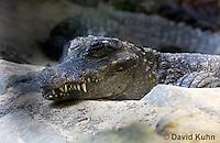 0311-1101  Resting West African Dwarf Crocodile (Broad-Nosed Crocodile), Osteolaemus tetraspis  © David Kuhn/Dwight Kuhn Photography