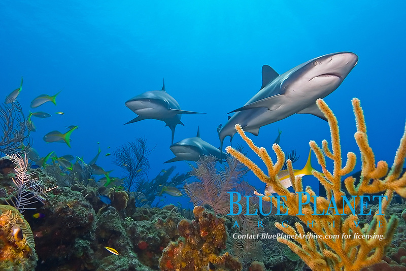 Caribbean reef sharks, Carcharhinus perezii, swimming among reef fish over pristine coral reef, West End, Grand Bahama, Bahamas, Caribbean Sea, Atlantic Ocean