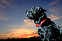 Portrait of a Black Labrador Retriever dog posing before a sunset sky.