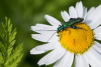 Grüner Scheinbockkäfer, Blaugrüner Schenkelkäfer, Oedemera nobilis, False Oil Beetle, Thick-Legged Flower Beetle, Swollen-Thighed Beetle, Pollen-feeding Beetle, Thick-legged Flower Beetle, Schenkelkäfer, Scheinbockkäfer, Schein-Bockkäfer, Scheinböcke, false blister beetles, pollen-feeding beetles, Oedemeridae