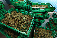 Switzerland. Canton Ticino. Sementina. Fioricultura Martinelli Sagl. Dry green organic cannabis CBD are stocked in plastic crates after trimming. The business of growing cannabis CBD is registered with the Swiss Federal Health Office. Several Swiss companies cultivate CBD plants in greenhouses as a tobacco substitute or according to medical standards in order to produce blossoms, concentrates, and other CBD products (oils, extracts and tinctures). The Swiss legal requirements have a 1 percent THC limit compare to the European Union (EU) where the THC limit is limited to 0.3 percent. Cannabidiol (CBD) is a phytocannabinoid discovered in 1940. It is one of some 113 identified cannabinoids in cannabis plants and accounts for up to 40% of the plant's extract. Cannabidiol can be taken into the body in multiple ways, including by inhalation of cannabis smoke or vapor, as an aerosol spray into the cheek, and by mouth. It may be supplied as CBD oil containing only CBD as the active ingredient (no included tetrahydrocannabinol [THC] or terpenes), a full-plant CBD-dominant hemp extract oil, capsules, dried cannabis, or as a prescription liquid solution. 24.06.2019 © 2019 Didier Ruef