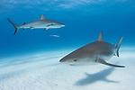 Tiger Beach, Grand Bahama Island, Bahamas; a pair of Caribbean Reef Sharks swimming over the sandy bottom at Tiger Beach