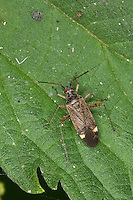 Weichwanze, Blindwanze auf Brennnessel-Blatt, Closterotomus fulvomaculatus, Weichwanzen, Blindwanzen, Miridae, mirids, capsid bugs, plant bugs