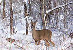 White-tailed doe standing in the deep winter snow.