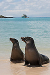 Santa Fe Island, Galapagos, Ecuador; two Galapagos Sea Lions (Zalophus wollebaeki) in the water, on the beach with the lagoon on the eastern edge of Santa Fe Island and the Sea Finch yacht in the background , Copyright © Matthew Meier, matthewmeierphoto.com All Rights Reserved