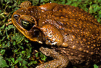 Bufo marinus or Cane toad with white poison coming from glands behind eyes