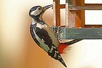 Buntspecht an der Vogelfütterung, Vogelhäuschen, Bunt-Specht, Specht, Spechte, Dendrocopos major, Picoides major, Great Spotted Woodpecker, Woodpeckers, Pic épeiche, Ganzjahresfütterung, Vögel füttern im ganzen Jahr