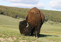 A large bull bison grazes in Hayden Valley.