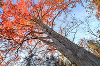 France, Allier (03), Villeneuve-sur-Allier, Arboretum de Balaine en automne, cyprès chauve, Taxodium distichum