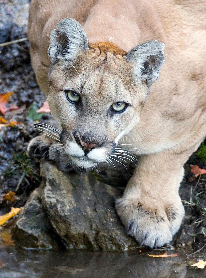 A wild mountain lion photographed in the Wasatch Mountains of Utah.  This cat came to drink at a natural spring just after the sun set over the mountains.  I was photographing from a tree stand.<br /> <br /> This remains my favorite wild animal encounter to date.<br /> <br /> This is a WILD animal.  It is NOT captive, nor was it baited.