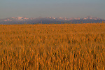 Wheat fields in eastern, Colorado