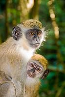 Vervet monkey, St. Kitts.