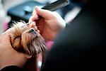 lo yorkshire terrier Fiordalice con la sua proprietaria ed handler Sodine all'esposizione canina internazionale di sassari e chiaramonti 16-17 febbraio 2013