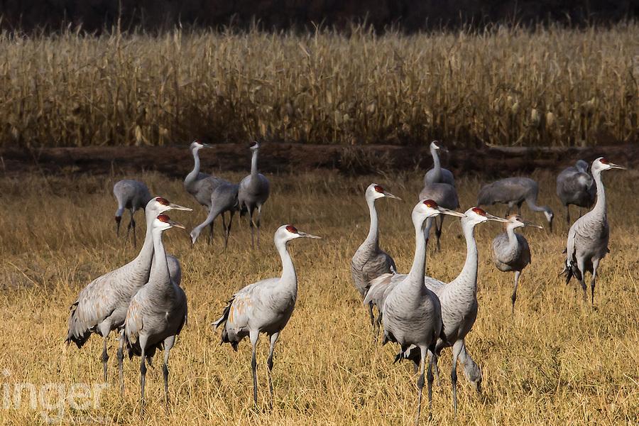 Sandhill Cranes at Bernardo