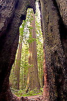 Burned out redwood framing live redwoods.  Humbolt Redwoods State Park with redwoods. California