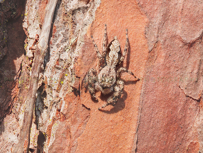 A Jumping Spider (Platycryptus undatus) clings to the side of a longleaf pine tree.