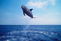 bottlenose dolphin, Tursiops truncatus ( c-r ), leaping, Roatan, Honduras, Atlantic Ocean