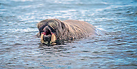 Atlantic walrus, Odobenus rosmarus rosmarus, in water, Spitsbergen, Arctic, Norway, Europe