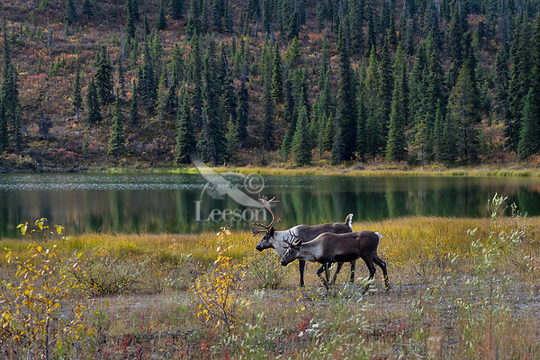 Woodland Caribou or forest-dwelling caribou, (Rangifer tarandus caribou) cow and bull by small mountain lake.  British Columbia.  Fall.