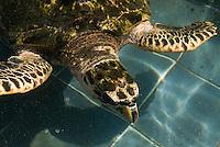 Dominikanische Republik, Wasserschiuldkröten im Acuario Nacional in Santo Domingo