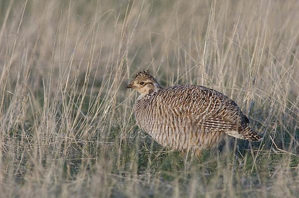 Lesser Prairie-Chicken, Tympanuchus pallidicinctus, male on lek displaying, Canadian, Panhandle, Texas, USA, February 2006