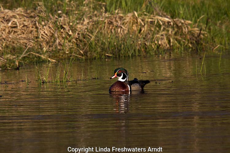 Drake wood duck in Wisconsin