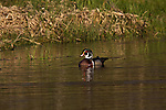 Drake wood duck in Wisconsin