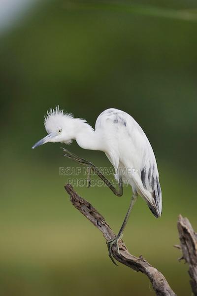 Little Blue Heron (Egretta caerulea), immature preening, Sinton, Corpus Christi, Coastal Bend, Texas, USA