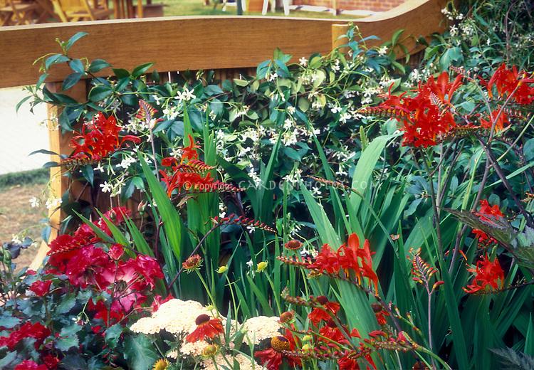 Crocosmia Lucifer, red rosa roses, Achillea, Jasminum or Trachelospermum vine, for red and white flower garden color theme,  New Guinea impatiens
