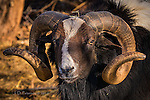 Painted Desert Sheep, Cornville, Arizona ©2016 James D Peterson.  This suave looking fellow resides at the Runnin' W Wildlife Sanctuary at Cornville, Arizona.  This variety of sheep is a hybrid of 3 different wild species.