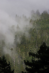 California, Redwood trees, old growth forest, Humboldt County, Highway 101, California, USA,