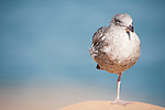 La Jolla Cove, La Jolla, California; a juvenile seagull stands on one leg on a cliff overlooking the Pacific Ocean