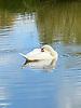 Swan sleeping on a Hampstead Heath pond.<br /> <br /> Stock Photo by Paddy Bergin
