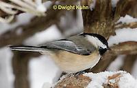 1J04-588z  Black-capped Chickadee, in winter snow,  Poecile atricapillus or Parus atricapillus