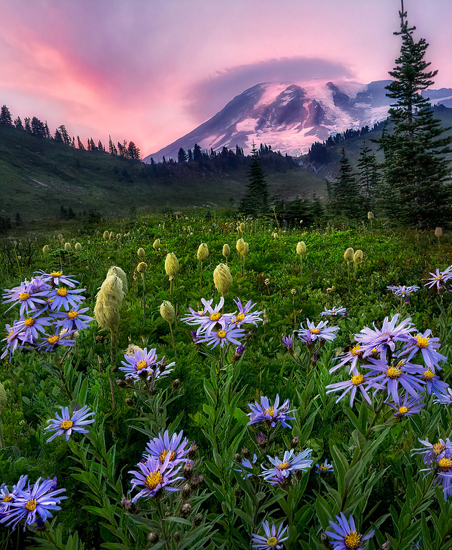 Cascade Aster and Pasqueflower seedhead with sunset and Mt. Rainier. Mt. Rainier National Park, Washington