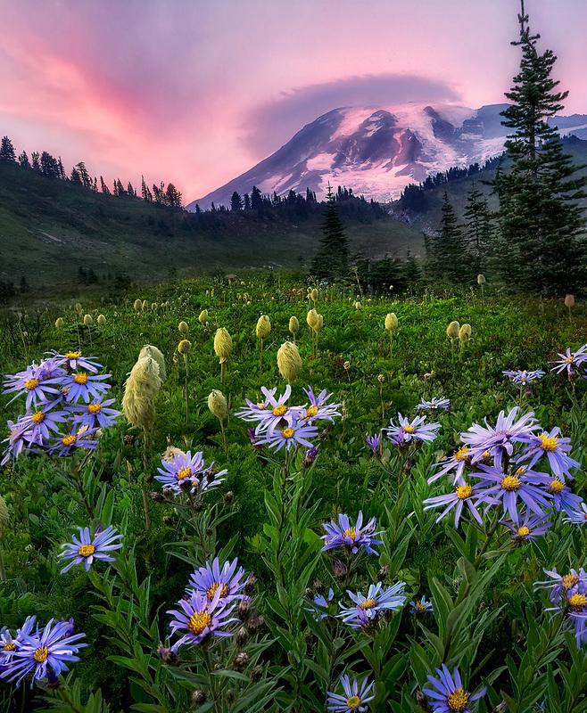 Cascade Aster and Pasqueflower seedhead with sunset and Mt. Rainier. Mt. Rainier National Park, Washington