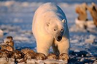 polar bear, Ursus maritimus, scavenging a bowhead whale, Balaena mysticetus, carcass, 1002 coastal plain of the Arctic National Wildlife Refuge, Alaska, polar bear, Ursus maritimus