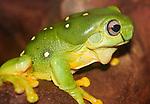 Splendid Tree Frog, Litoria splendida