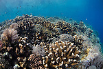 Shallow coral reef in Bunaken Marine Park, with a variety of table, leather, and staghorn corals, Acropora sp., Porites sp., Litophyton sp., sarcophyton sp., Bunaken, Manado, North Sulawesi, Indonesia, Pacific Ocean