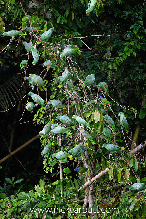 Flock of Mealy Parrots (Amazona farinosa) gathered above the wall of a clay lick (Blanquillo). Manu Biosphere Reserve, Amazonia, Peru.